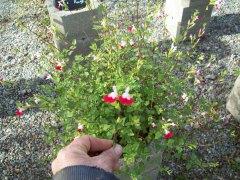 SAUGE microphylla_ rouge et blanche_